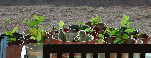 Greenery from the inside, 1 of 2 tables. Cucumbers, Tomatoes, Lemon trees, Grapefruit trees. And Cacti.