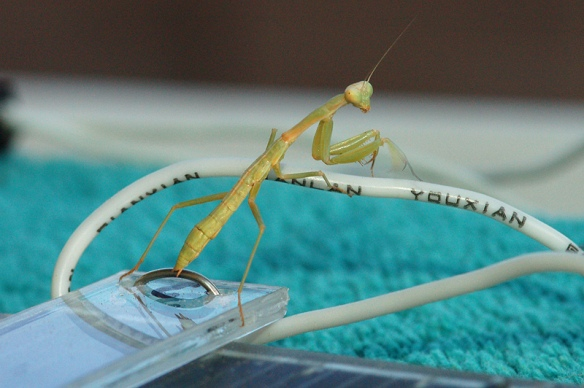 An adelescent mantis gives me the evil eye while lurking on a small solar cell.