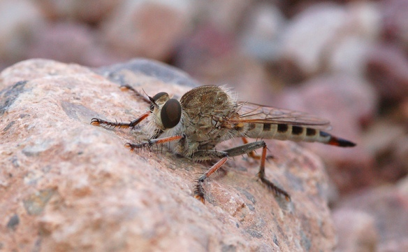 The robber fly moves to a slightly more photogenic location.