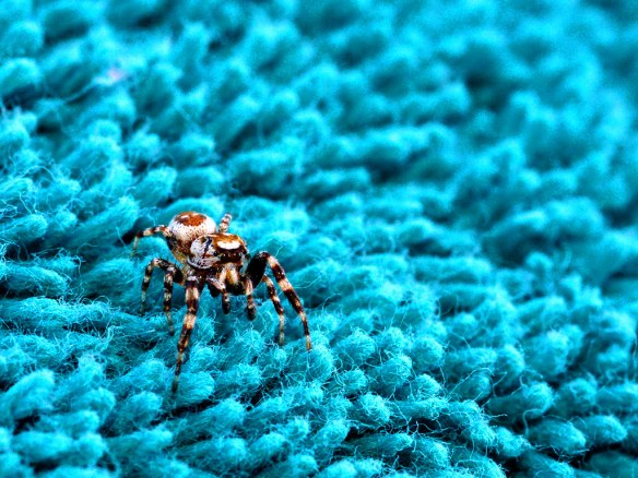 Little jumping spider, part of the family Salticadae, traversing the threads of a towel. My favorite arachnid.