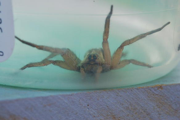 Captured wolfspider; our house was sprayed with pesticides, I dropped her off on the neighbors wall.