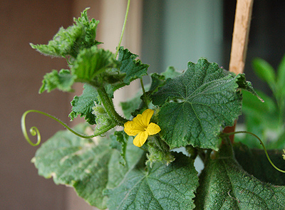 A Cucumber Blossum ! a solitary blossum... but still.